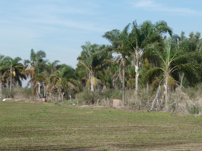 Campo de 8 hectareas con 2000 Palmeras